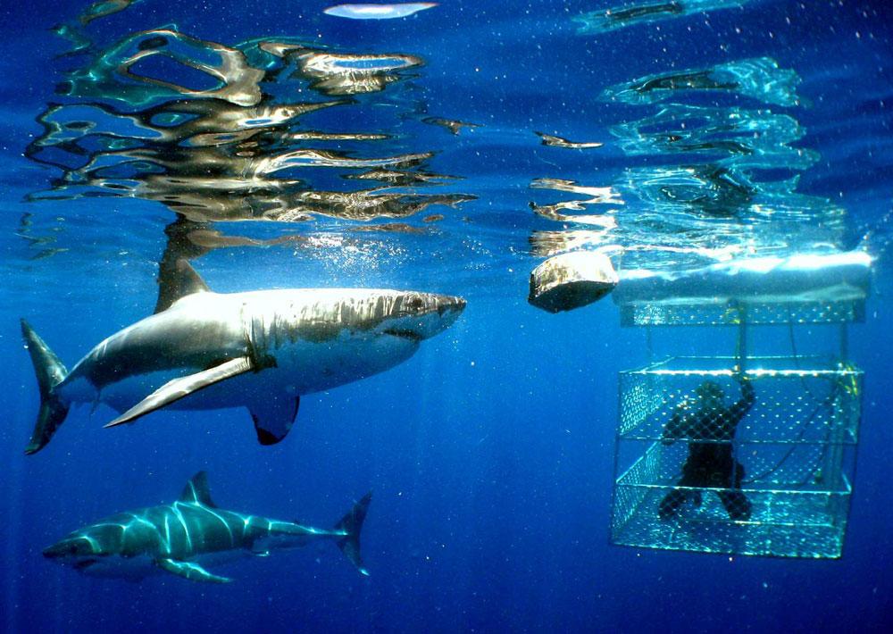 Shark cage nada con tiburones en Hawái Playas del mundo