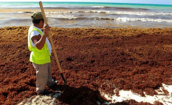 Retiran diariamente algas malolientes de las playas de Cancún