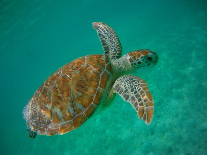 Akumal, la playa donde es posible ver tortugas marinas en la Riviera Maya